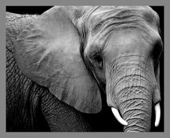 8-30-2011elephant.png
