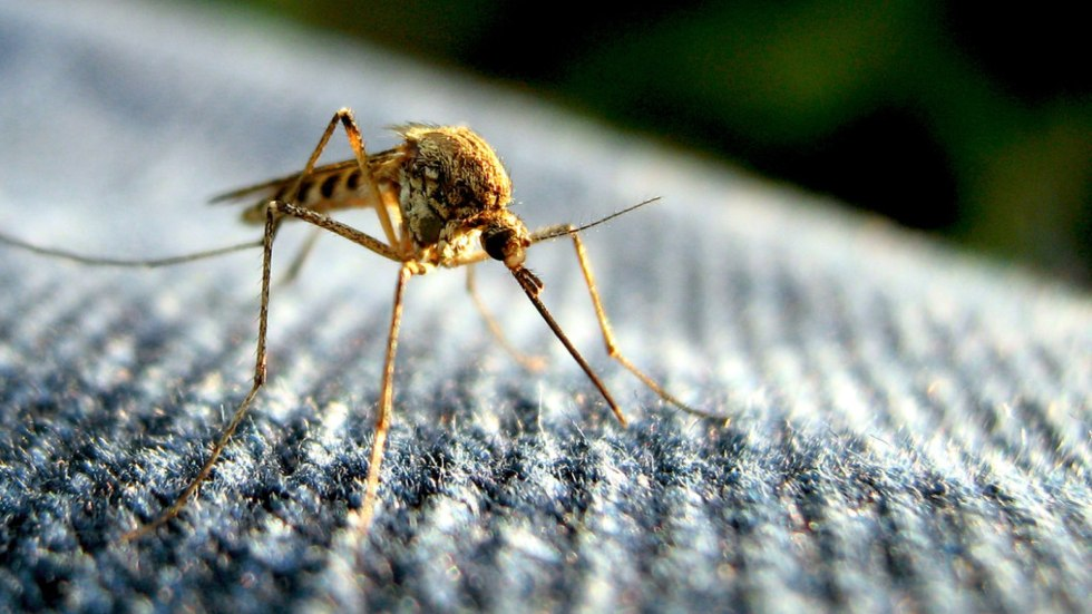 mosquito.001